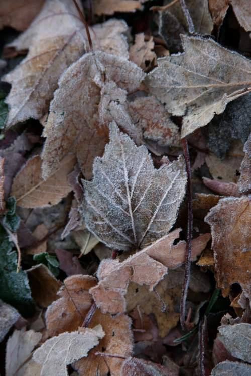 frosty-leaf