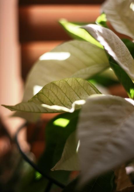 white-poinsettia-2