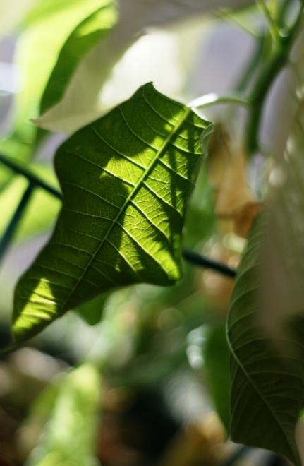 white-poinsettia1