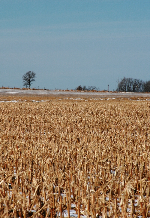 winter-cornfield-4