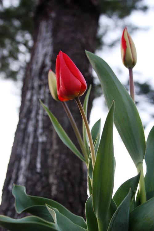 sunset-tulips-small
