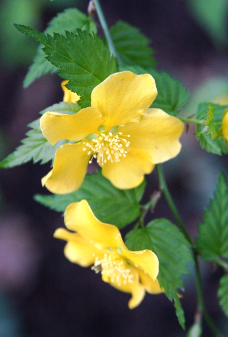 sunset-yellow-flowers