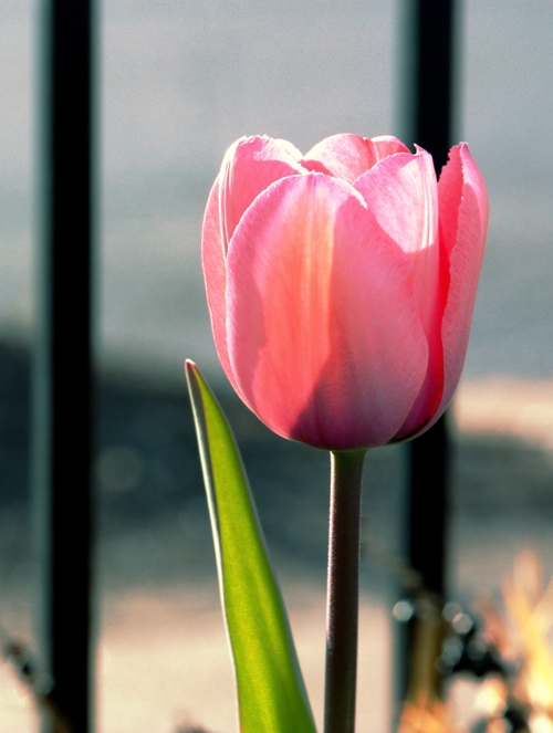 tulip-2-small