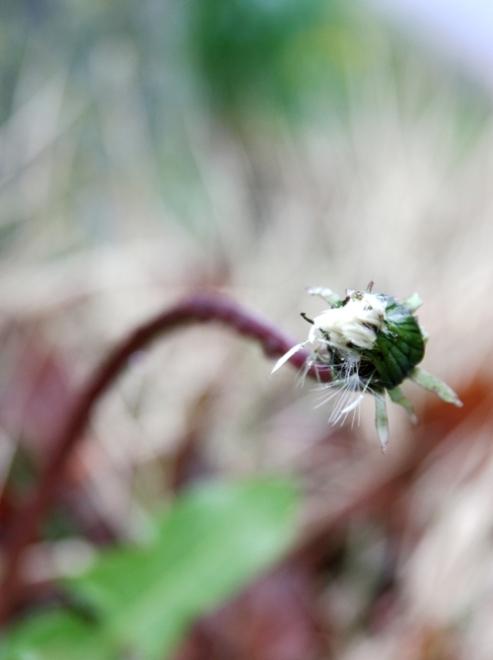 dandelion-3-small