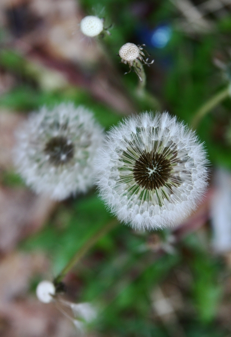 dandelions-small