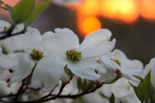 dogwood-2-small