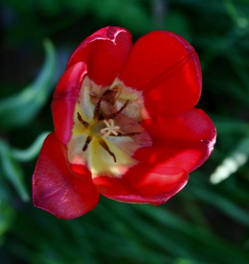late-tulip-3