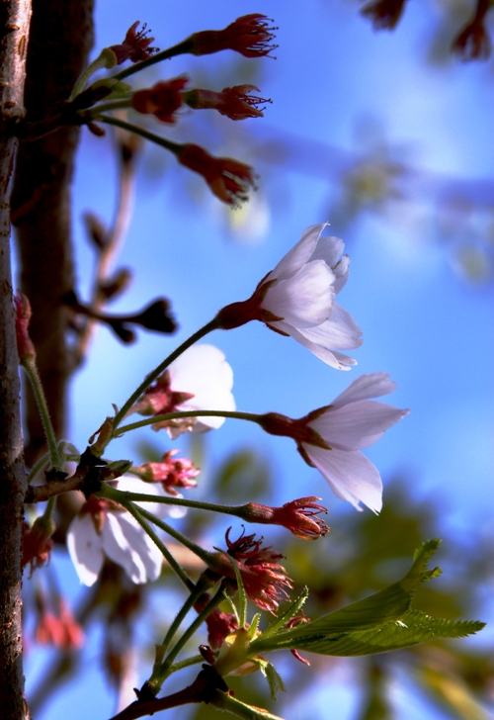 white-blossoms-small