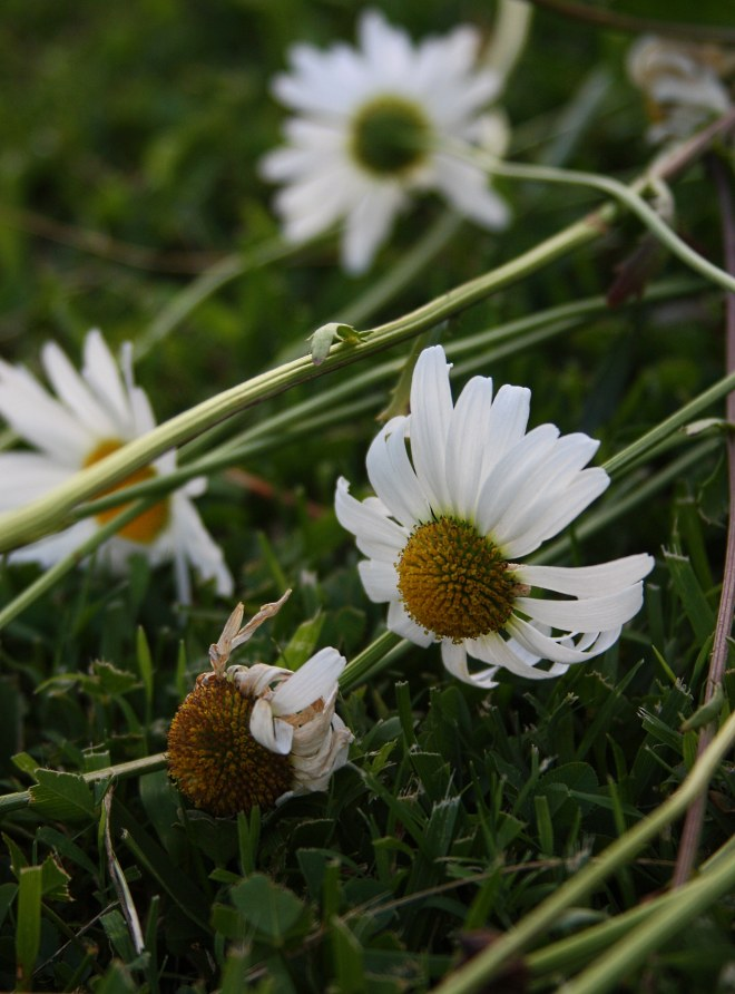daisies on ground