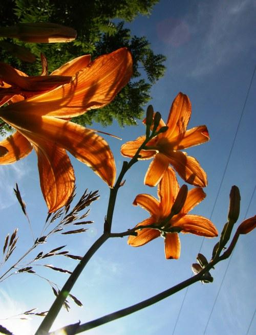 daylilies sky small