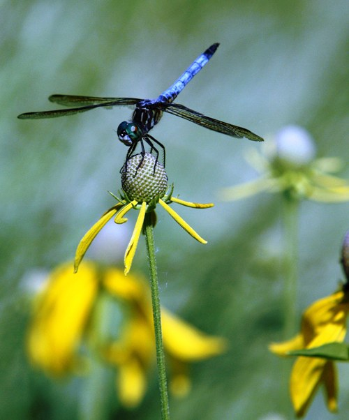 dragonfly 1 small