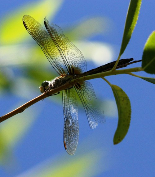 dragonfly 4 small