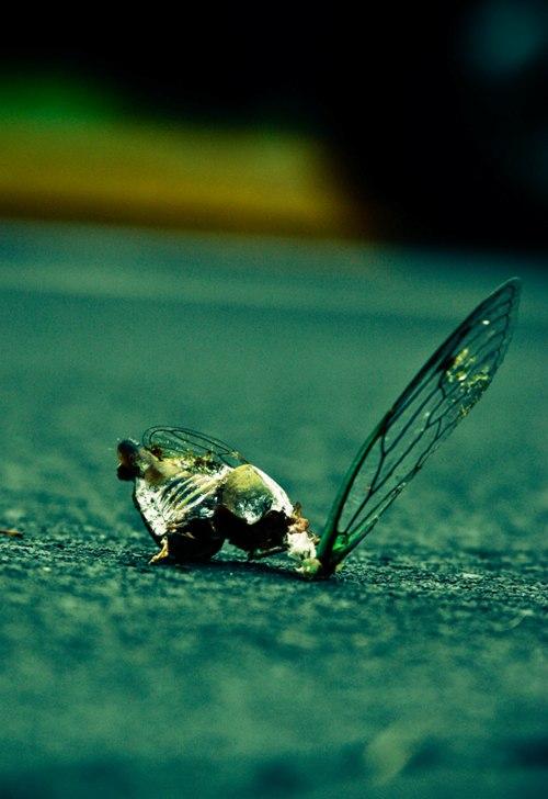 cicada wing 3