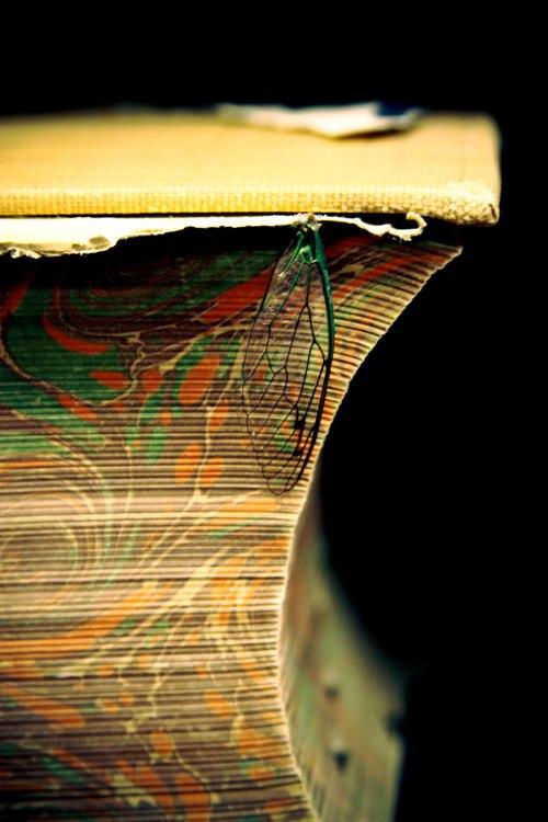 cicada wing anddictionary