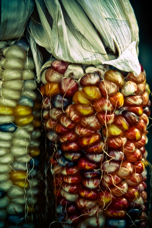 indian corn small