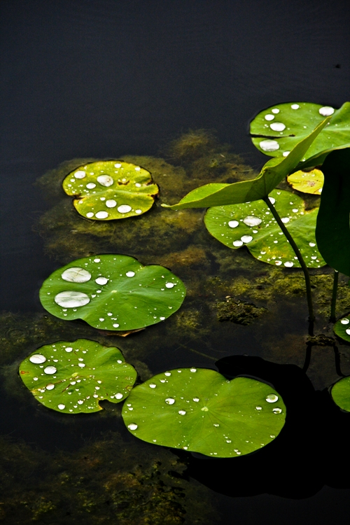 lily pond-2 small