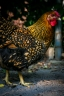 keeping chickens in the city-3