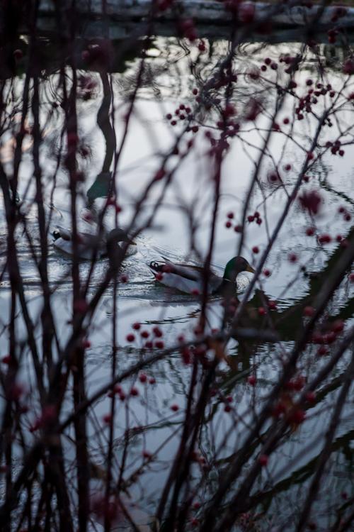 duck pond tower grove park-11