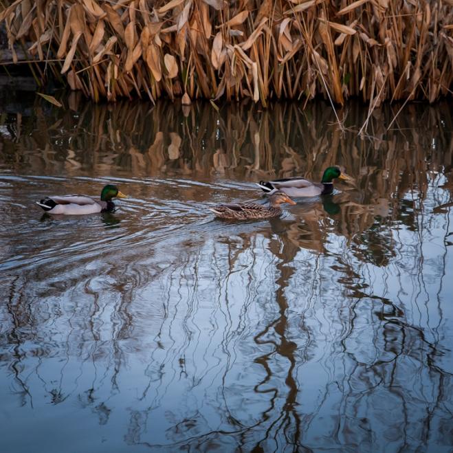 duck pond tower grove park-3