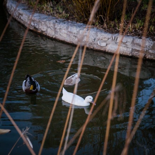 duck pond tower grove park-4