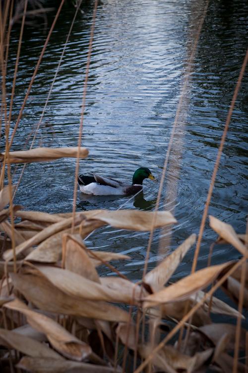 duck pond tower grove park-5