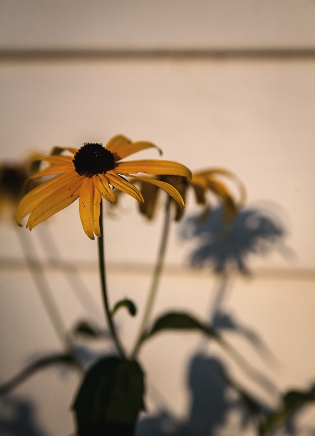 black eyed susan shadow-1 small