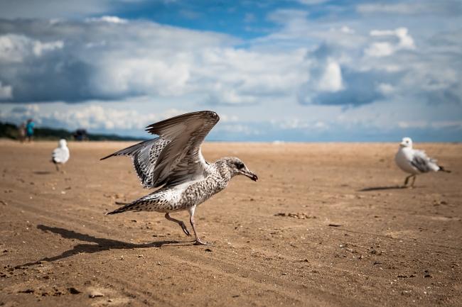 michigan seagull scavengers-2 small