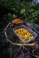 yellow tomatoes-1 small