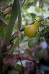 yellow tomatoes-3 small