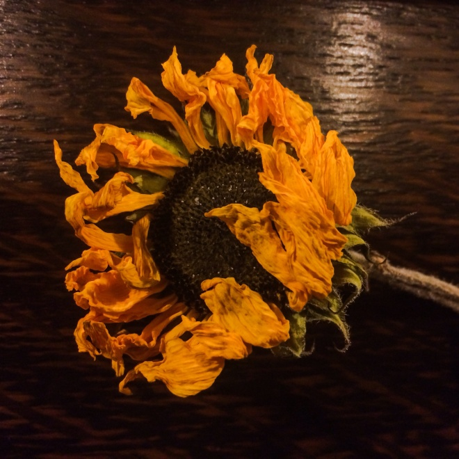 Deepening glory - Sunflower from the funeral of a great man