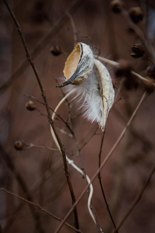 milkweed vine-1 small