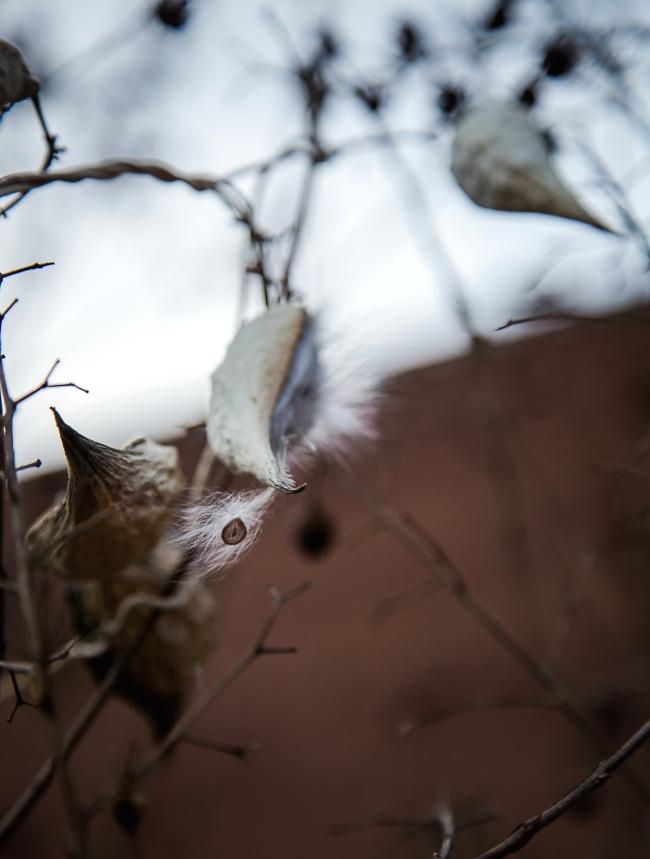 milkweed vine-2 small