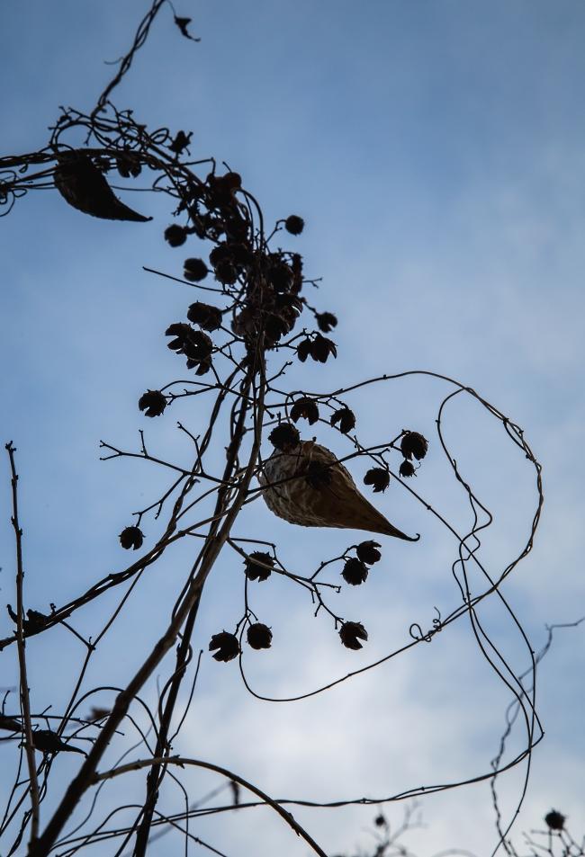 milkweed vine-5 small