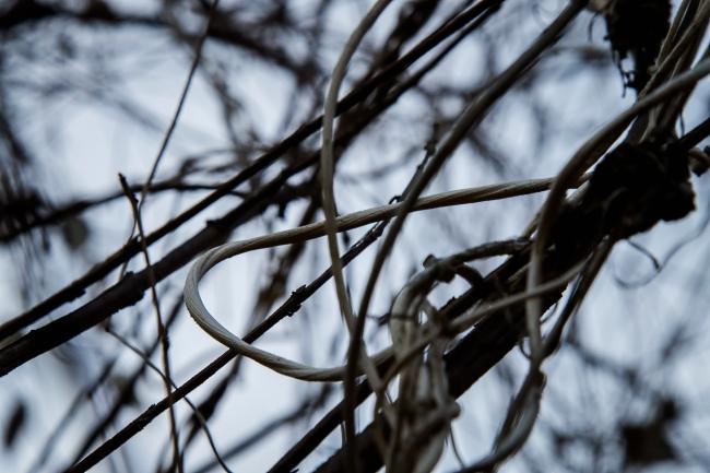 milkweed vine-6 small