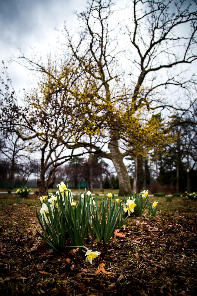 daffodils tower grove park-2 small