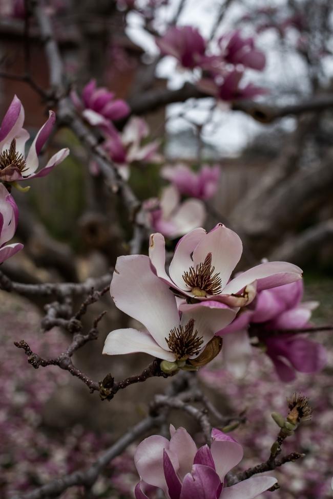magnolia -3 small