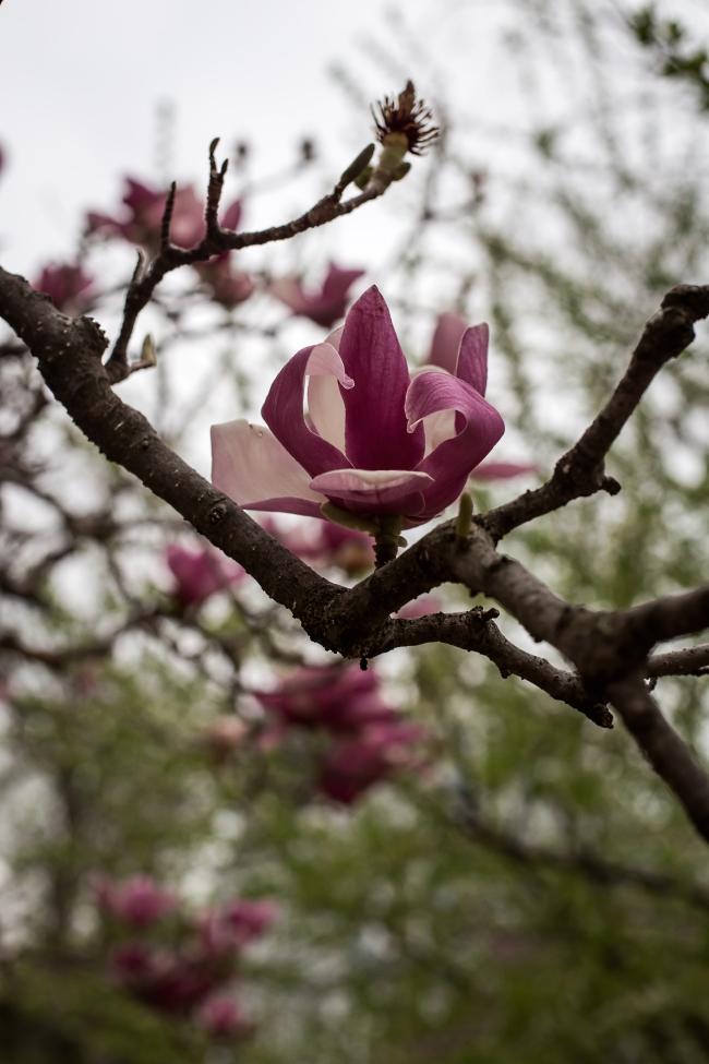 magnolia -5 small