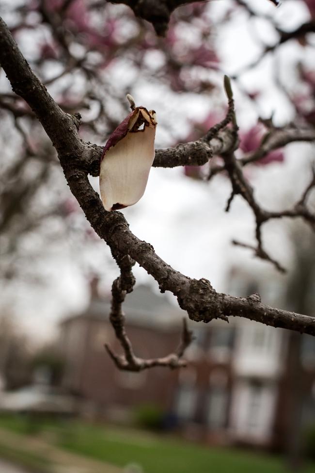 magnolia -6 small