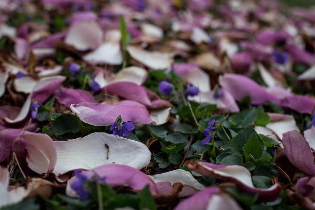 magnolia -9 small