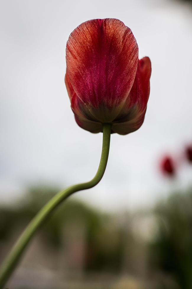 tulip with curved stem-1 small