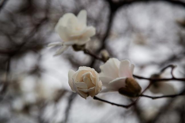 white magnolia in rain tower grove park-2 small