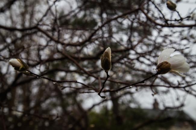 white magnolia in rain tower grove park-4 small