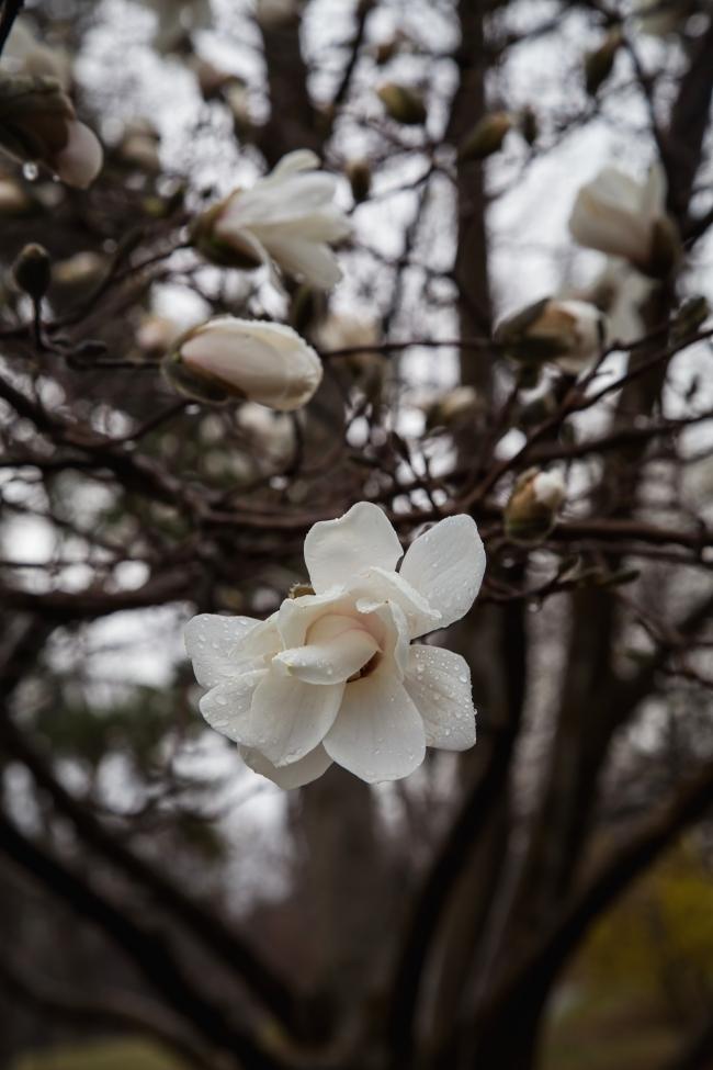 white magnolia in rain tower grove park-6 small