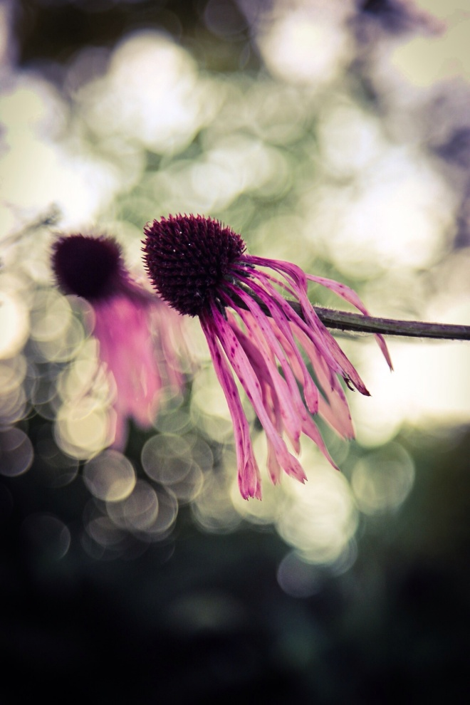 The Drying Coneflowers - Echinacea with Backlighting