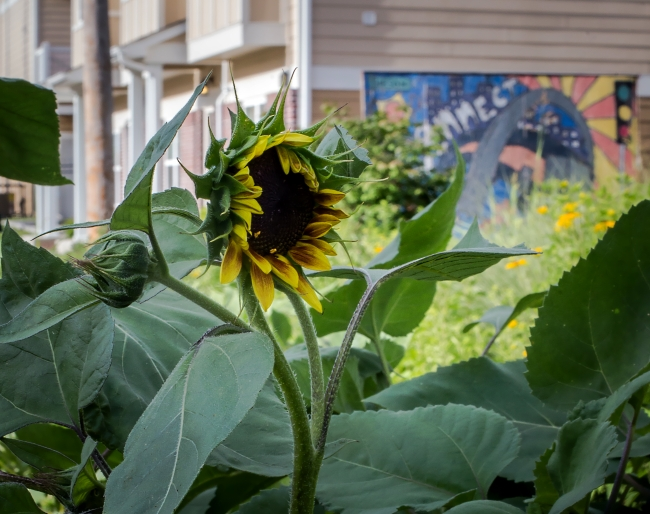 sunflowers along tower grove avenue-1 small'