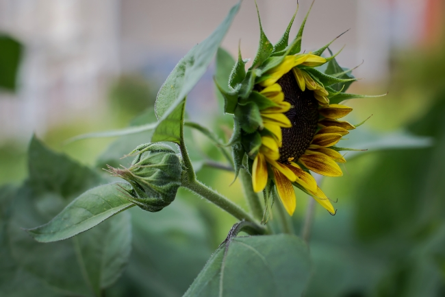 sunflowers along tower grove avenue-2 small