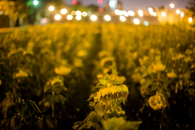 delmar sunflowers at night-1 small