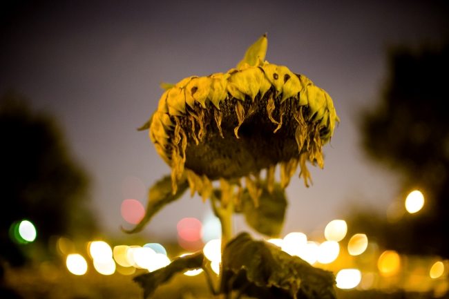 delmar sunflowers at night-3 small