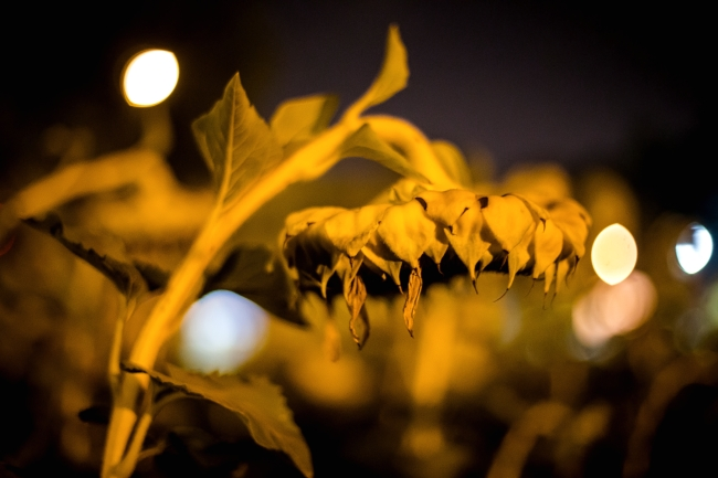 delmar sunflowers at night-4 small