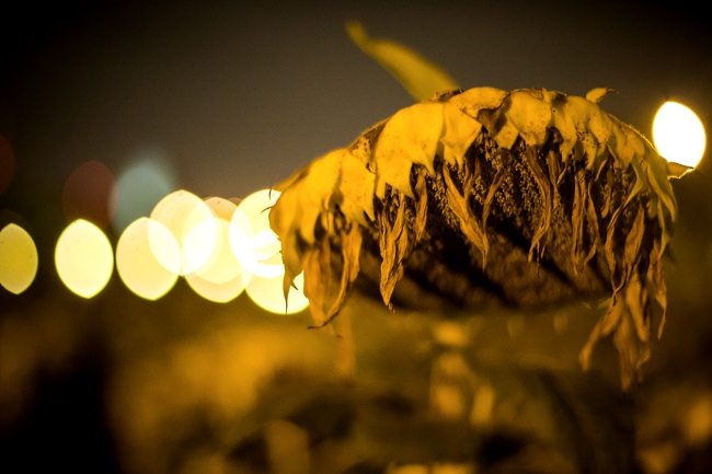 delmar sunflowers at night-7 small